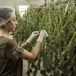 fille qui fait sécher des fleurs de cannabis dans une serre de production