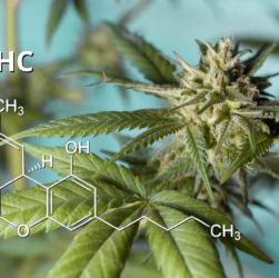 feuilles et fleurs de cannabis thc