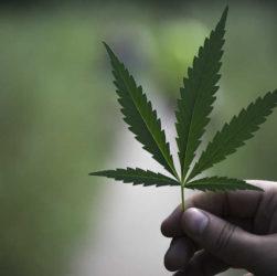 Plus de la moitié des Fraçais sont pour une dépénalisation du Cannabis