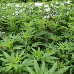 Création d'un comité scientifique temporaire pour la mise en place d'une filière française de production du Cannabis médical